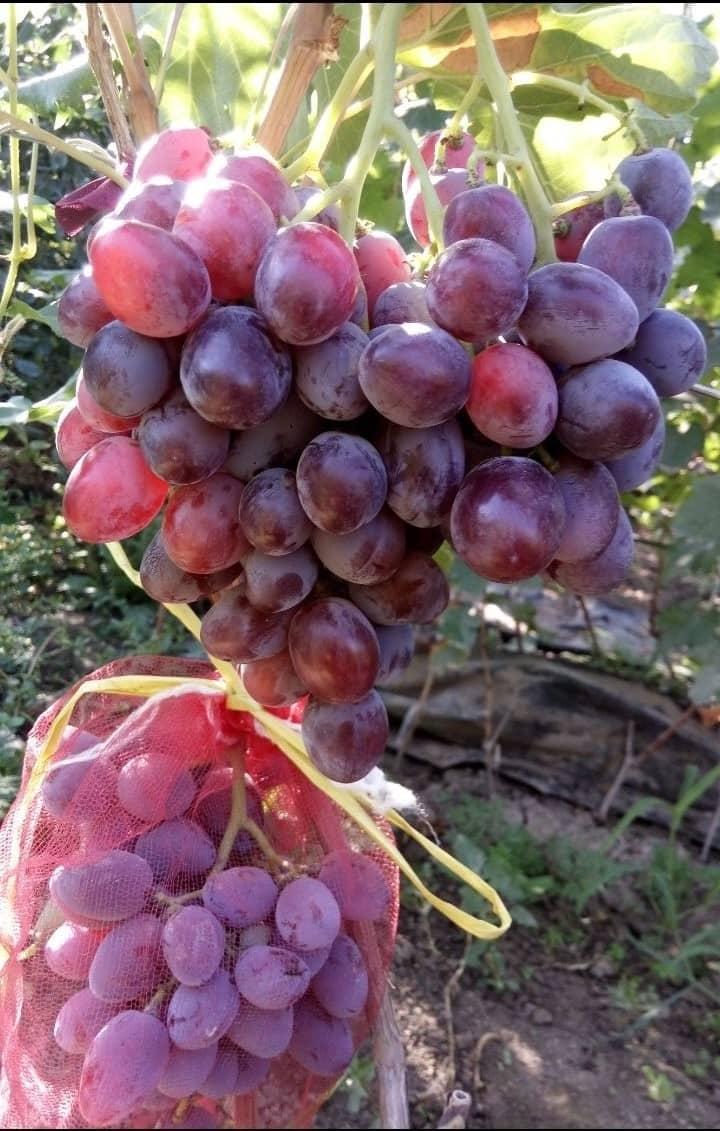 сорт винограда Атаман