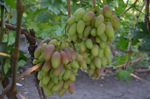 сорт винограда Диксон