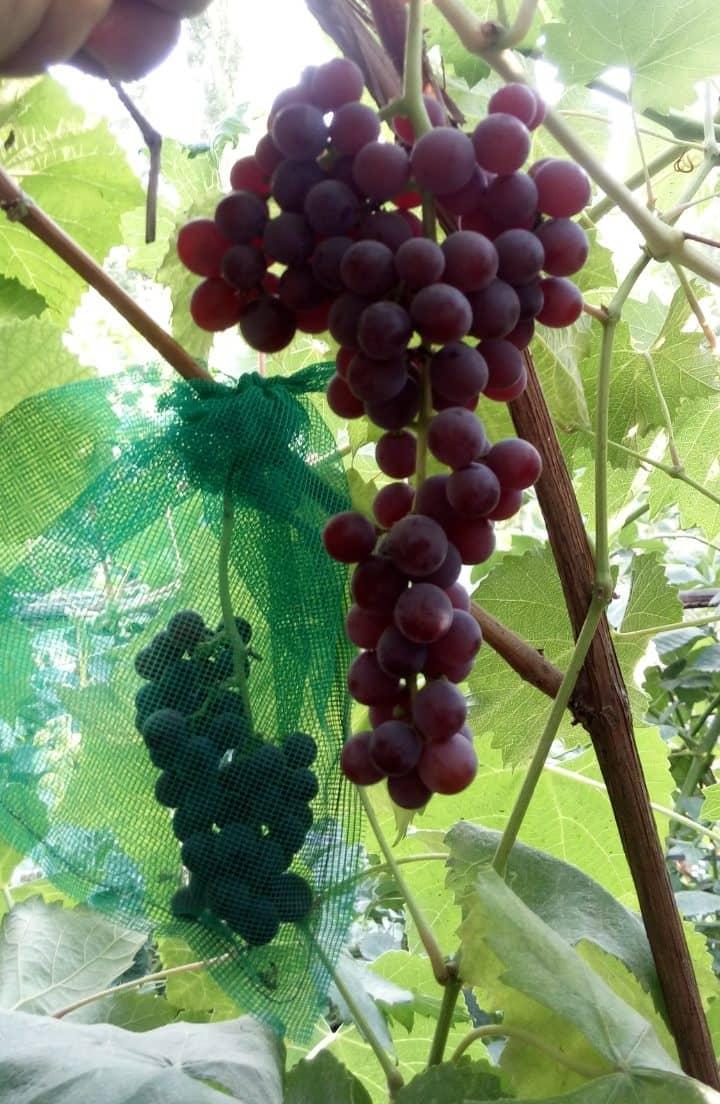 сорт винограда Прима сидлис