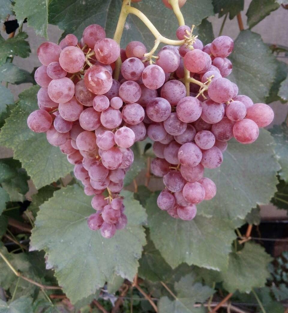 сорт винограда Рилайнс пинк сидлис