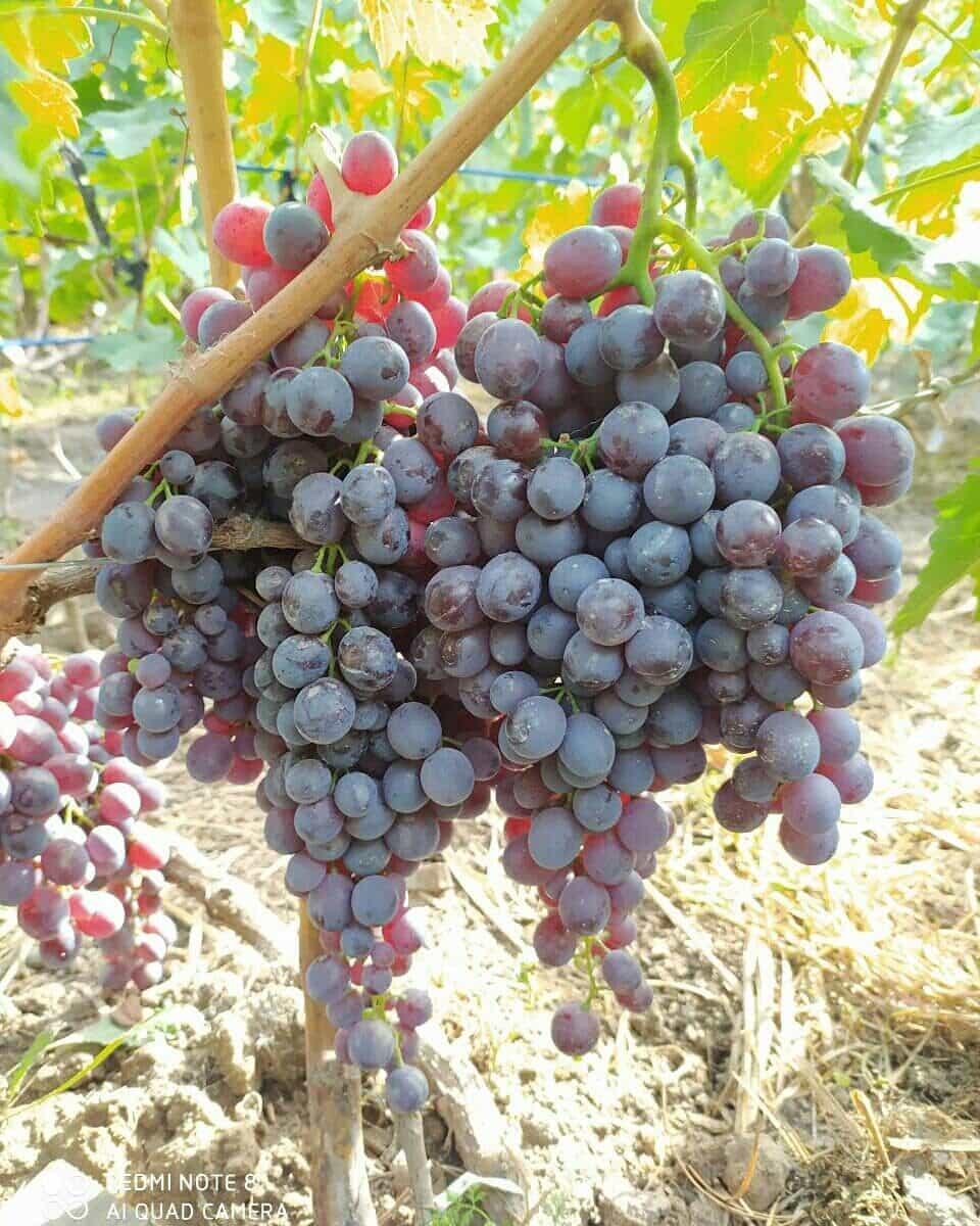 сорт винограда Руби сидлис