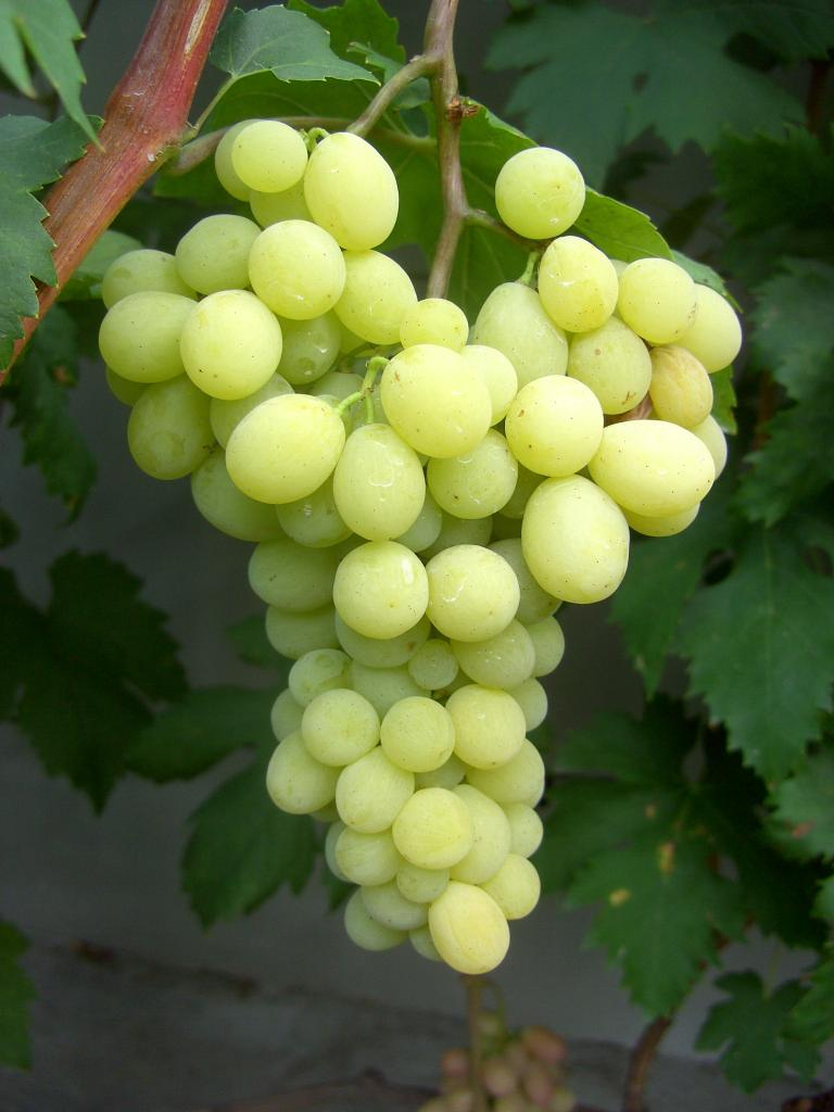 сорт винограда Саграйон