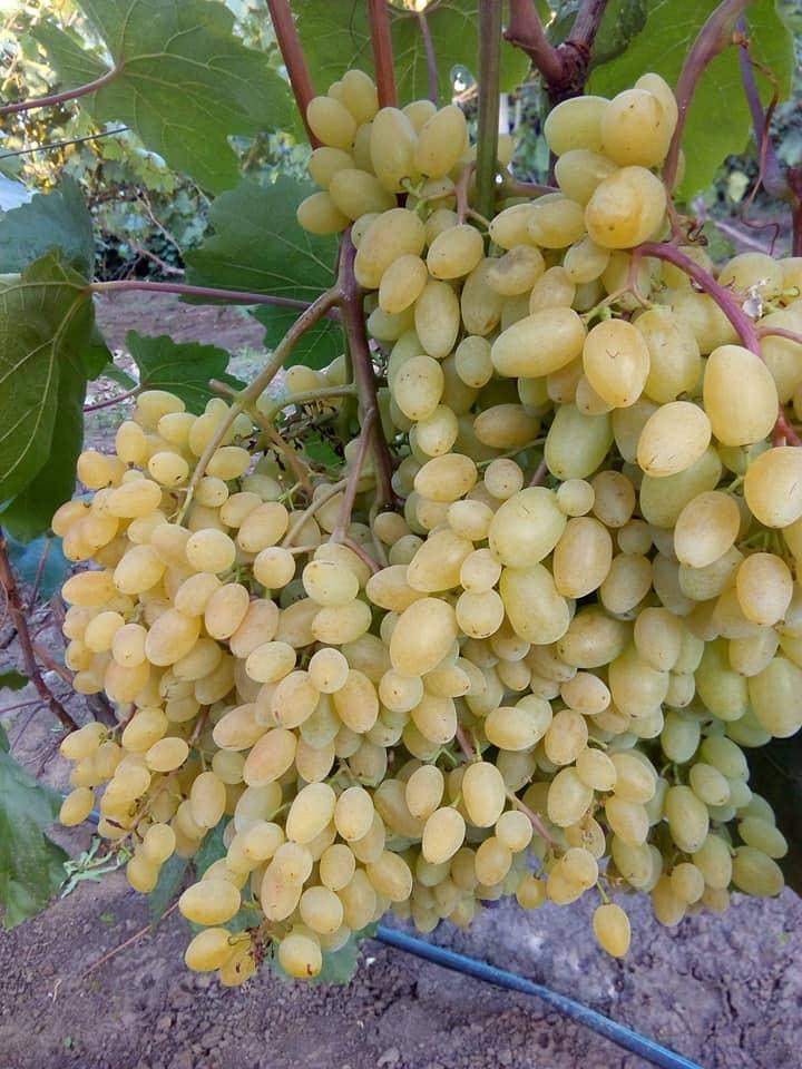 Сорт винограда Кишмиш Гелиодор