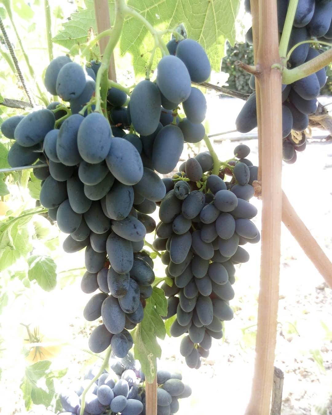 сорт винограда Джой сидлис