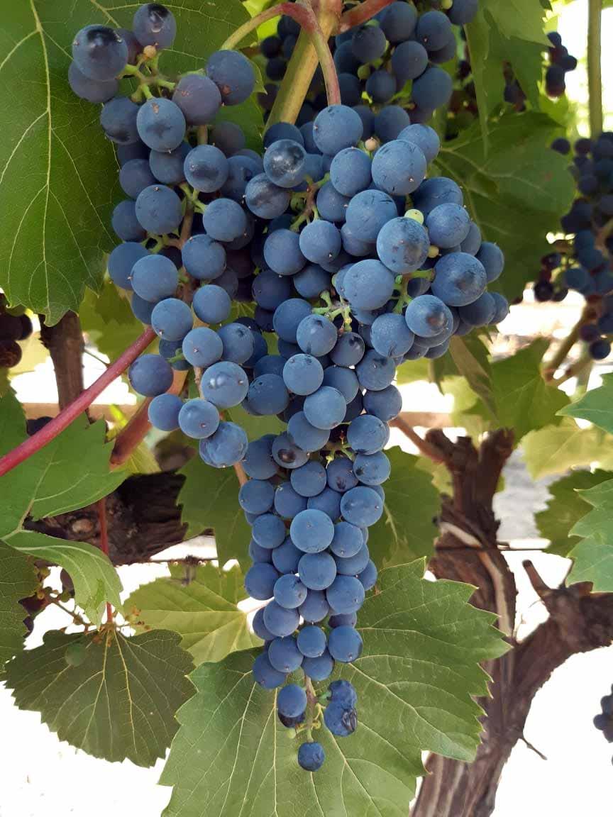 сорт винограда Фронтиньяк
