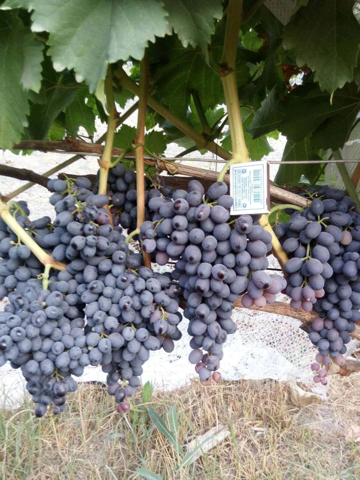 виноград Кишмиш Чёрный