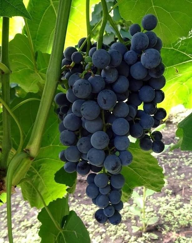 Сорт винограда Венус сидлис
