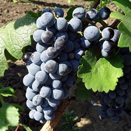сорт винограда Одесский чёрный