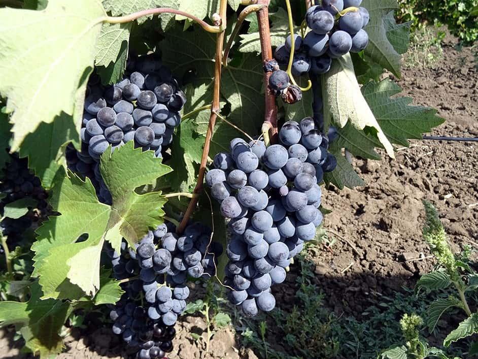 сорт винограда Кахет