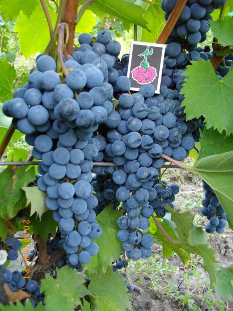 сорт винограда Ливадийский чёрный