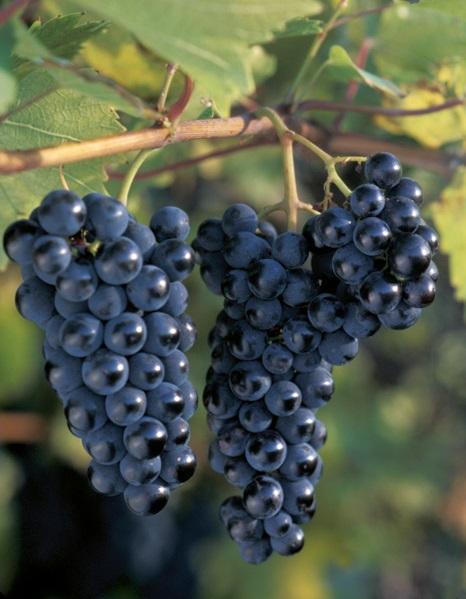 сорт винограда Маркетт