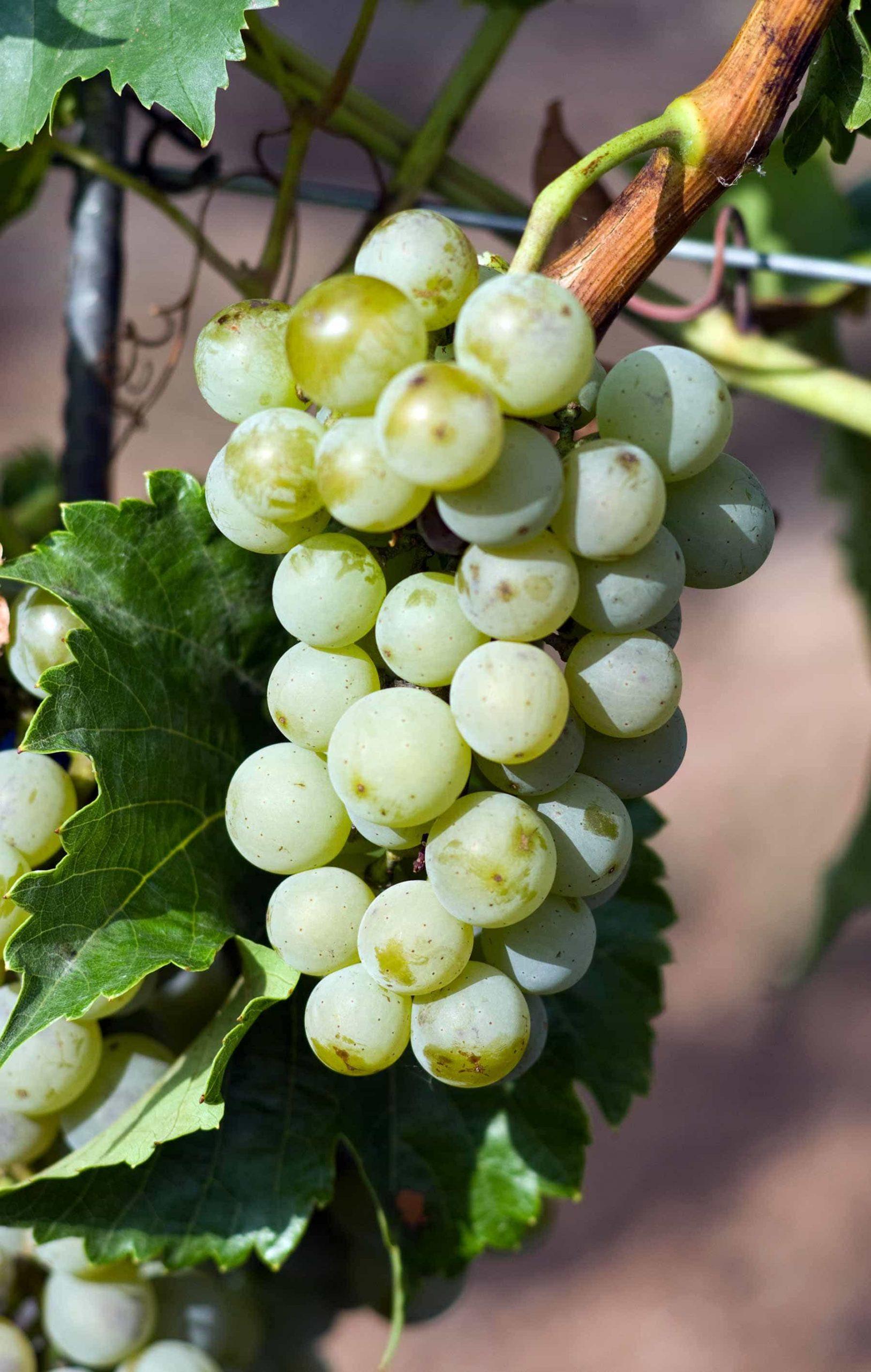 сорт винограда Виорика