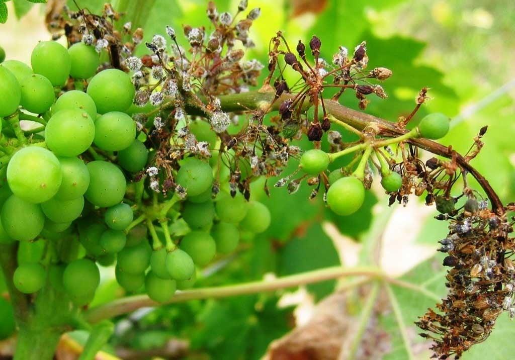 милдью гроздь