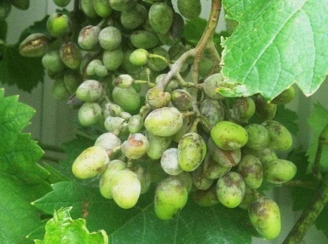 оидиум на грозди